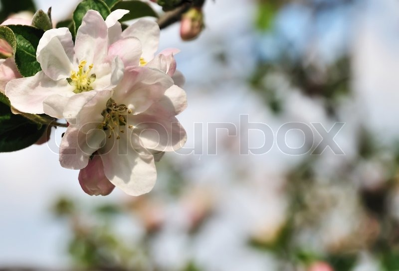 Stock image of 'spring background with apple tree blossom'