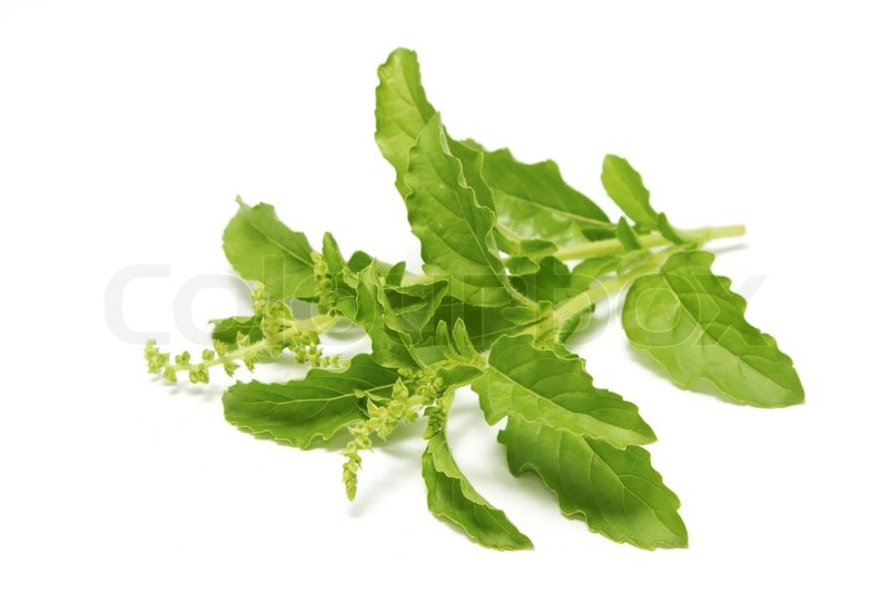 Stock image of 'Fresh green basil'