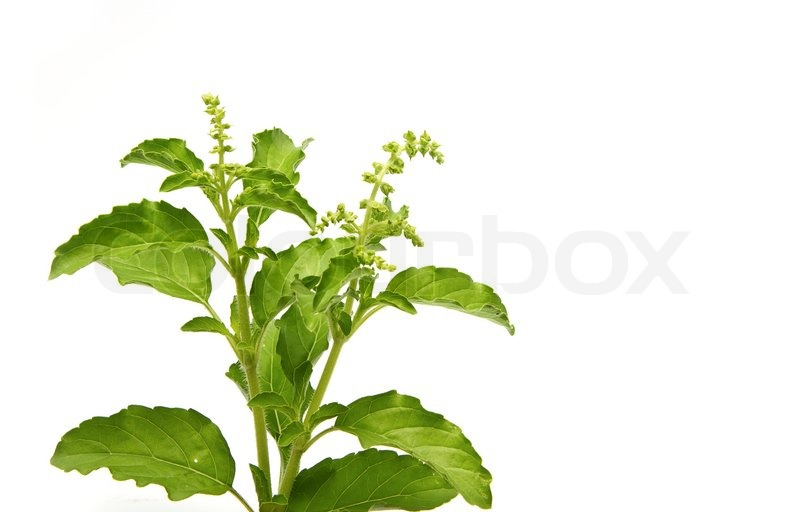 Stock image of 'Fresh green basil,Thai herb'