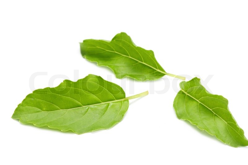 Stock image of 'Green basil leaf'