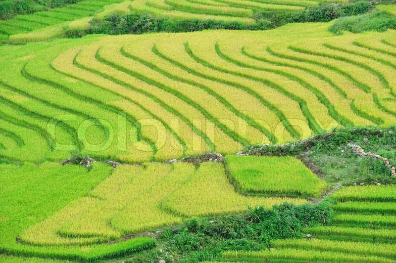 Stock image of 'Terrace rice fields'
