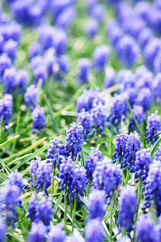 Stock image of 'A field of blue common grape hyacinths'
