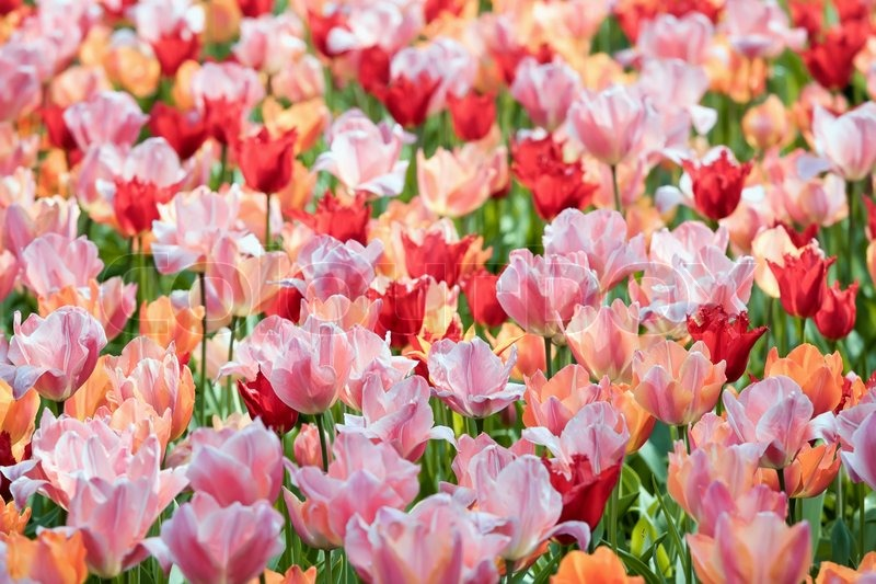 Stock image of 'Colorful tulips'