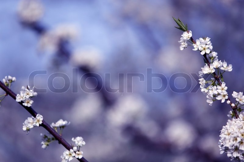 Stock image of 'White cherry flowers on spring time'