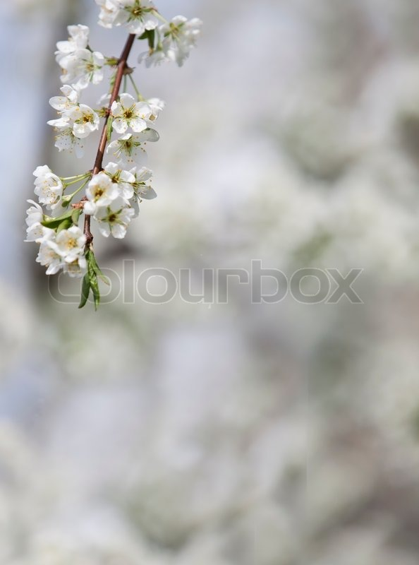 Stock image of 'white cherry flowers on spring time Background'