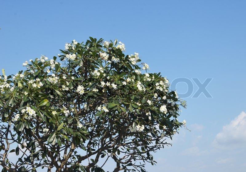 Stock image of 'Plumeria'