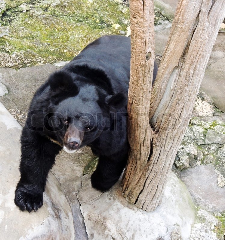 Stock image of 'Black bear in zoo'