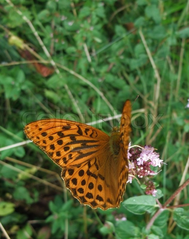 Stock image of 'Argynnis paphia butterfly in natural back'