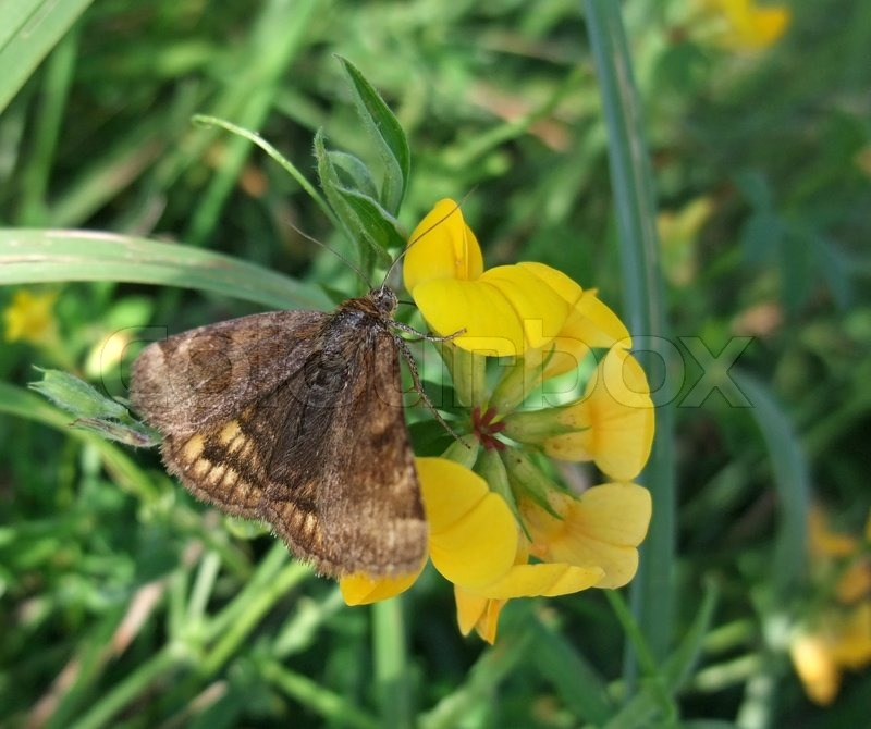 Stock image of 'Brown butterfly on yellow flower'