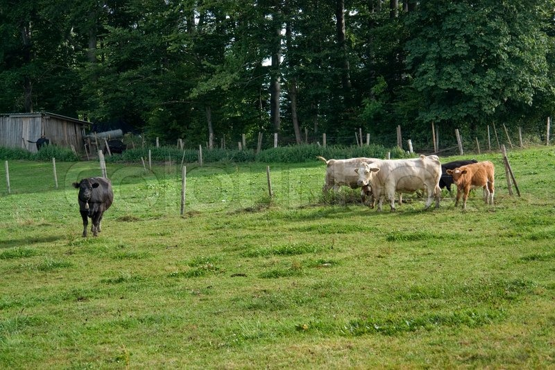 Stock image of 'Some cattle on a meadow near the edge of a forest in Southern Germany'