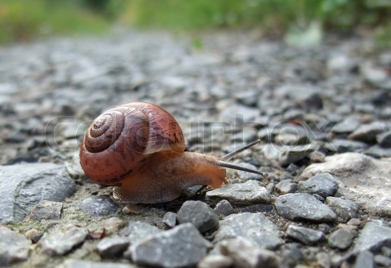 Stock image of 'low angle closeup of a Grove snail creeping along a field path'