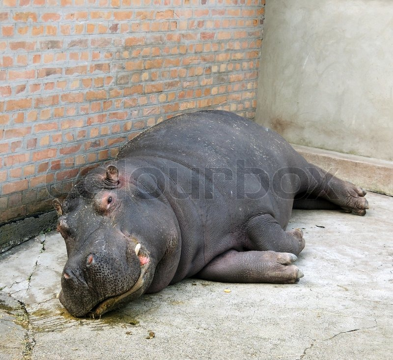 Stock image of 'Hippo in zoo'