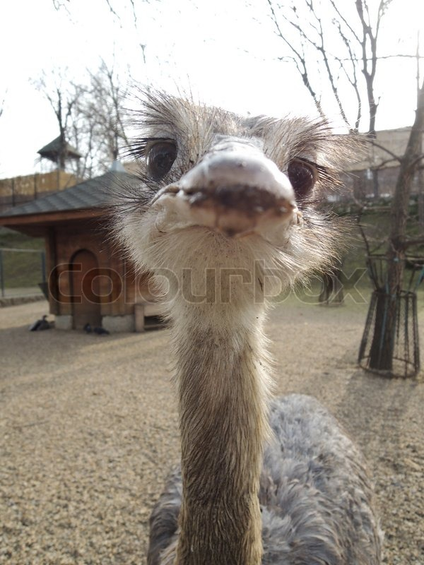 Stock image of 'Ostrich female head'