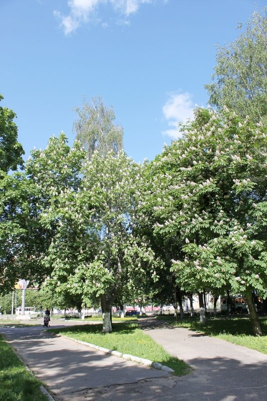 Stock image of 'Plane tree'
