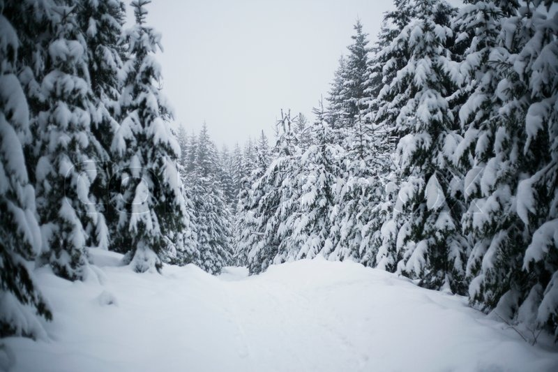 Stock image of 'Nordic winter forest'