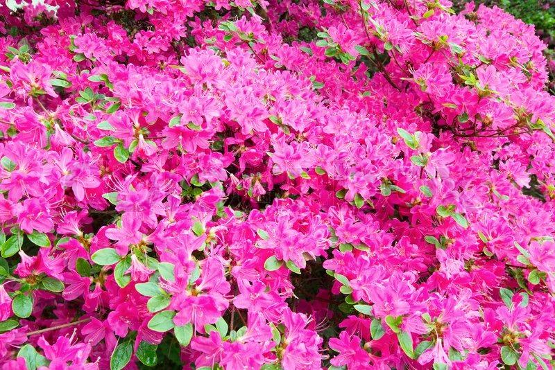bl hende rhododendron strauch mit rosa bl ten stockfoto colourbox. Black Bedroom Furniture Sets. Home Design Ideas
