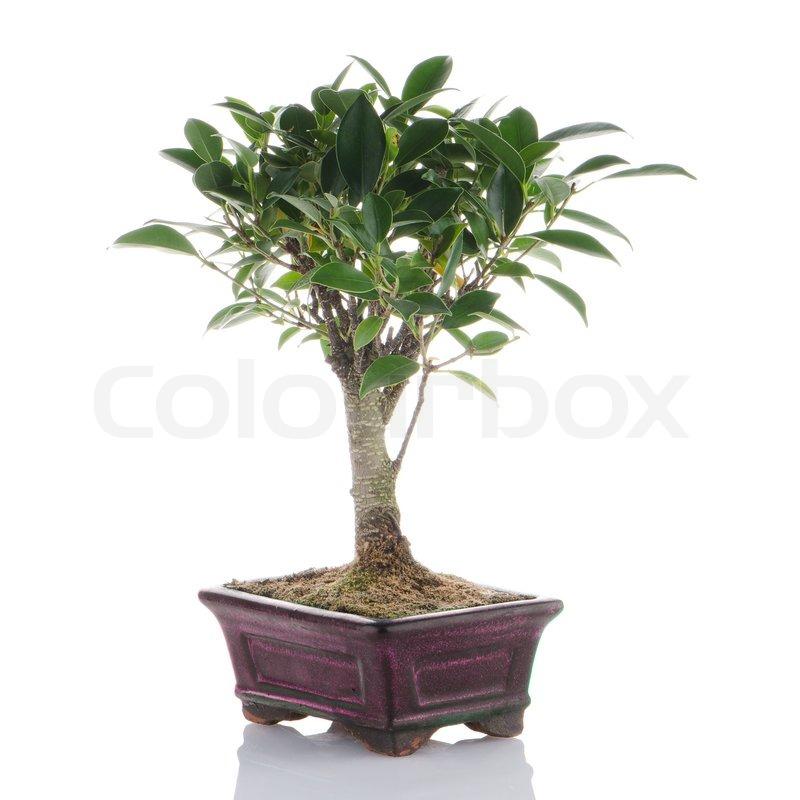 chinesischer gr ner bonsai baum stockfoto colourbox. Black Bedroom Furniture Sets. Home Design Ideas