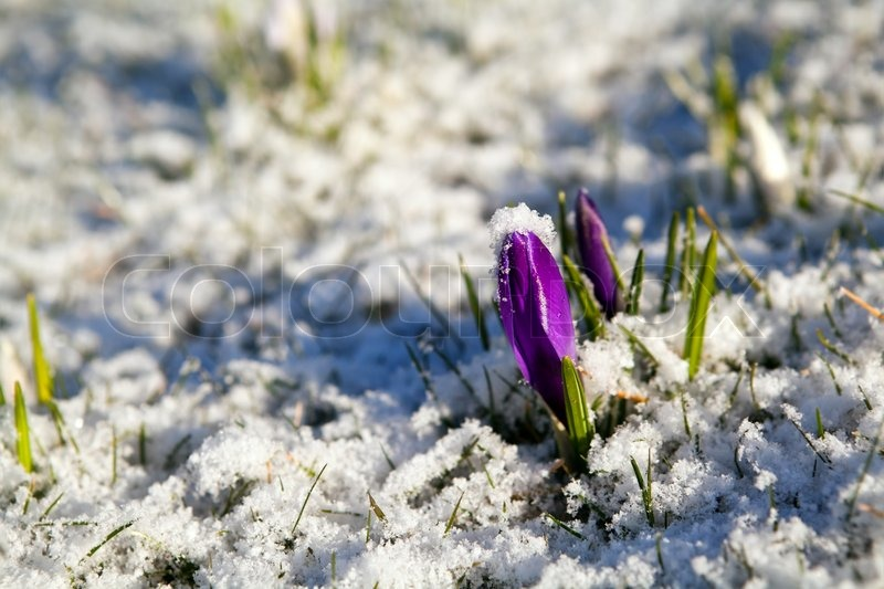 Purple Crocus Flower In Snow During Stock Photo Colourbox