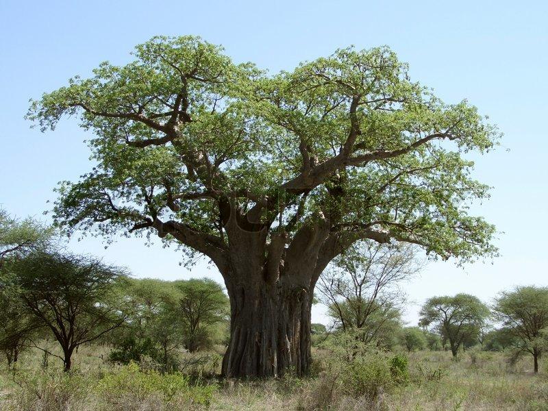baobab baum in tansania stockfoto colourbox. Black Bedroom Furniture Sets. Home Design Ideas