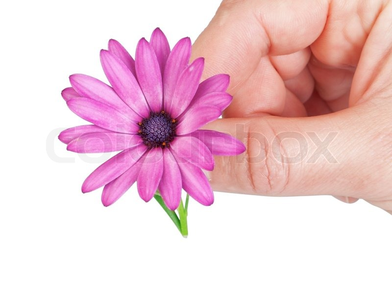 Flower in spring gift girlfriend in the mans hand stock photo flower in spring gift girlfriend in the mans hand stock photo colourbox negle Choice Image
