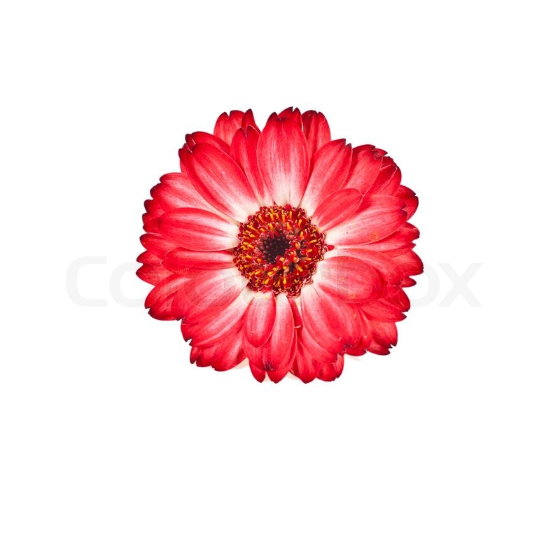 Red flower in white background | Stock Photo | Colourbox