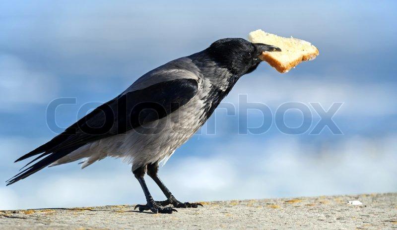 Big grauen Krähe sitzt mit großen Stück Brot im Schnabel | Stockfoto ...