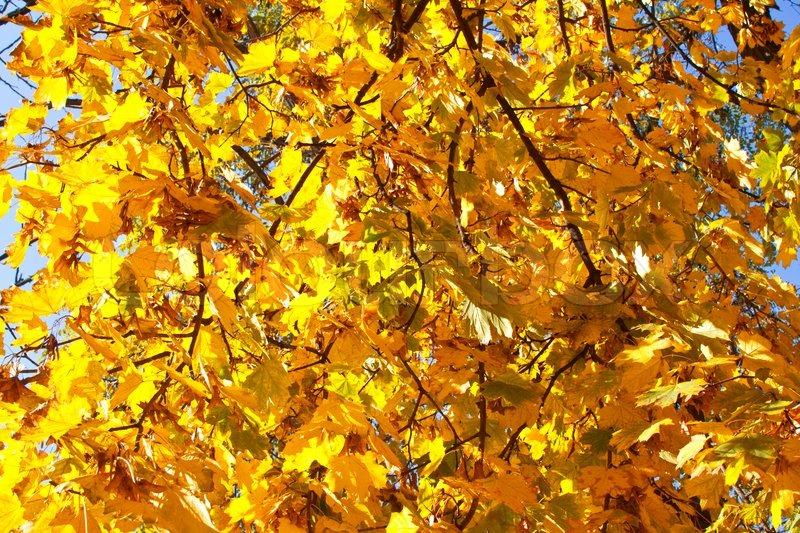 Autumn maple leaves background tree, stock photo