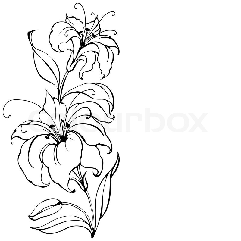 Lily Flower Isolated Over White Vector Illustration Stock Vector Colourbox