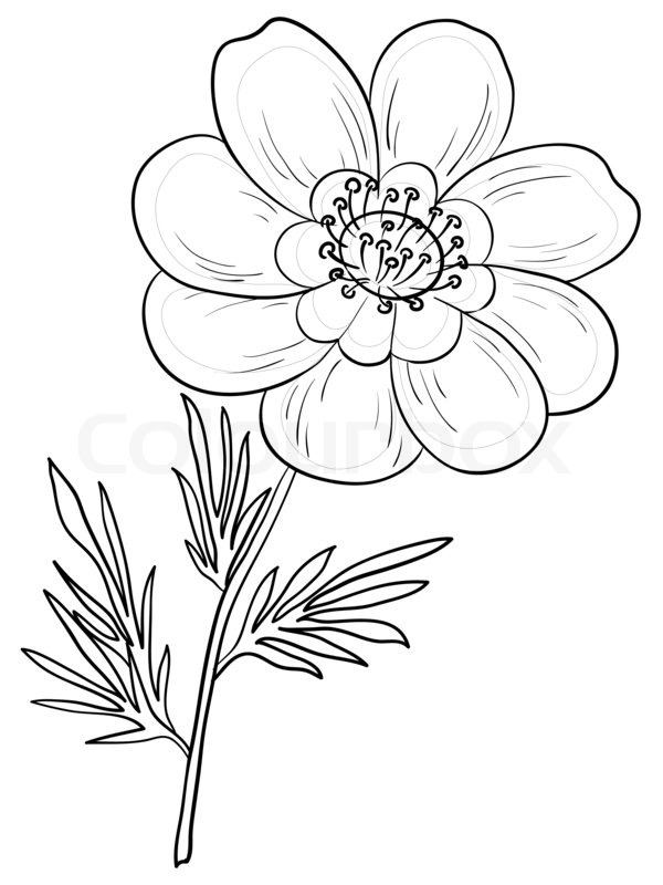 Flower Leaf Line Drawing : Flower adonis outline black contours on a white stock