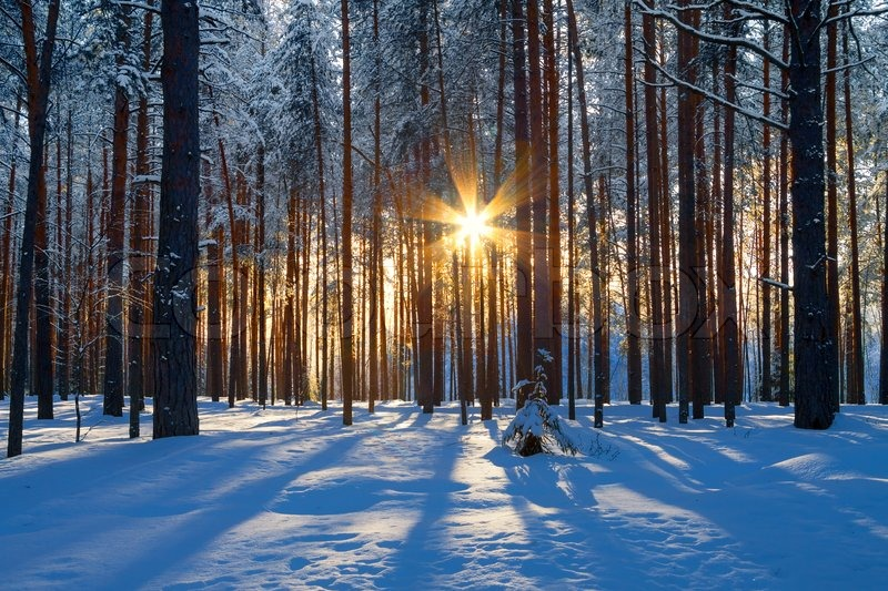 Winter landscape with a coniferous forest in beams of the sunset, stock photo