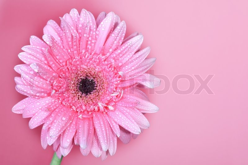 Large Pink Flower Gerbera On A Pink Stock Photo Colourbox