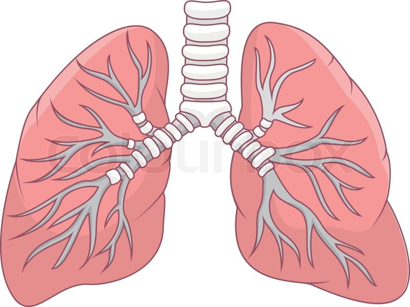 Vector Illustration Of Human Lung Cartoon Stock Vector Colourbox