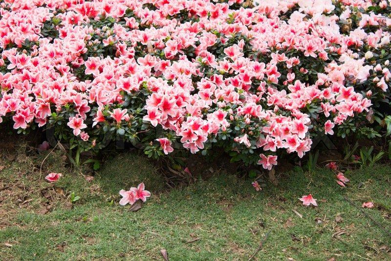 orientalske liljer