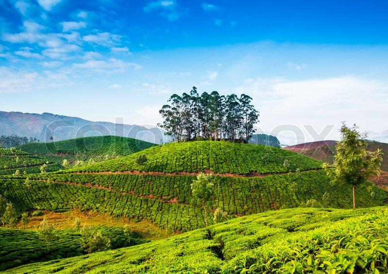 ... image of 'Landscape of the tea plantations in India, Kerala Munnar