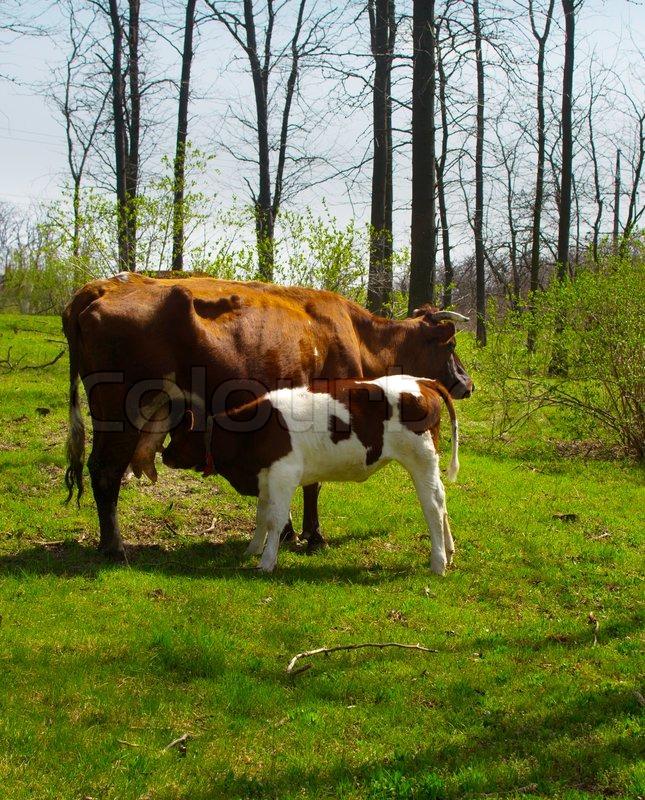 Kalb , während saugt Milch von der Kuh Euter | Stockfoto | Colourbox