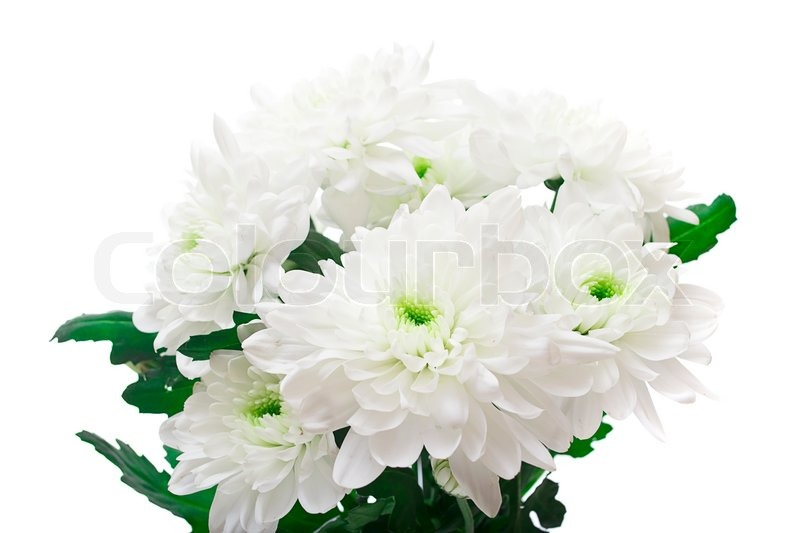 bouquet of chrysanthemums isolated on white background  stock, Beautiful flower
