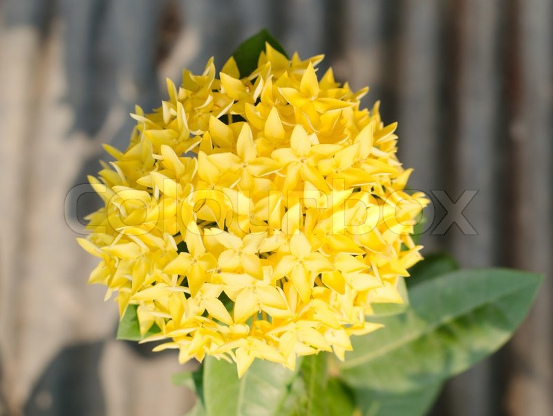 jungle geranien ixora coccinea close up gelbe farbe. Black Bedroom Furniture Sets. Home Design Ideas