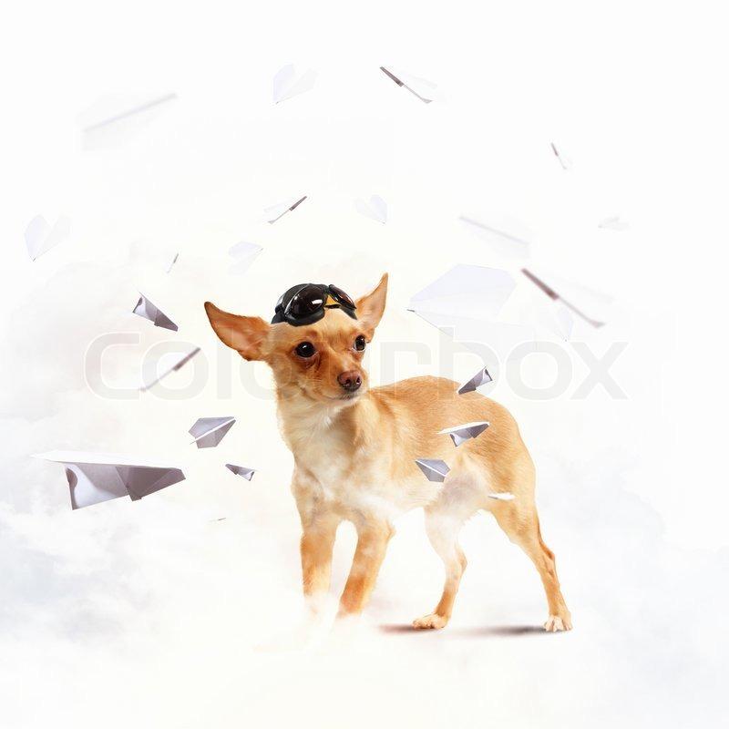 Dog Wearing Jewelry Dog Aviator Wearing a Helmet