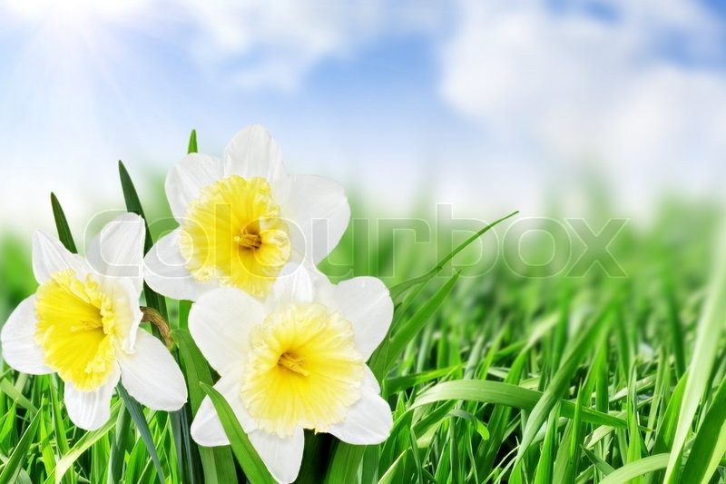Beautiful spring flowers background narcissu stock photo colourbox beautiful spring flowers background narcissu stock photo mightylinksfo