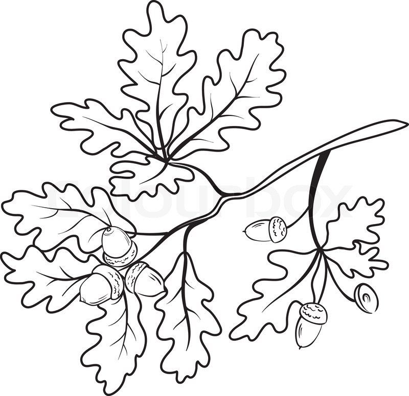 Oak Branch With Leaves And Acorns Black Contour On White