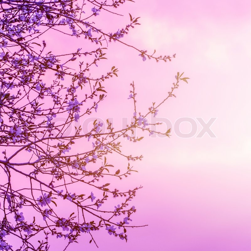 Kirschbaum blühen auf schöne rosa Sonnenuntergang Hintergrund ...