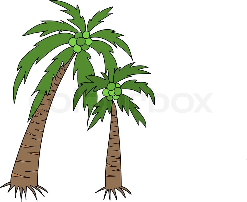Two Coconut Tree With Bunch Cocoanuts Vector Colourbox