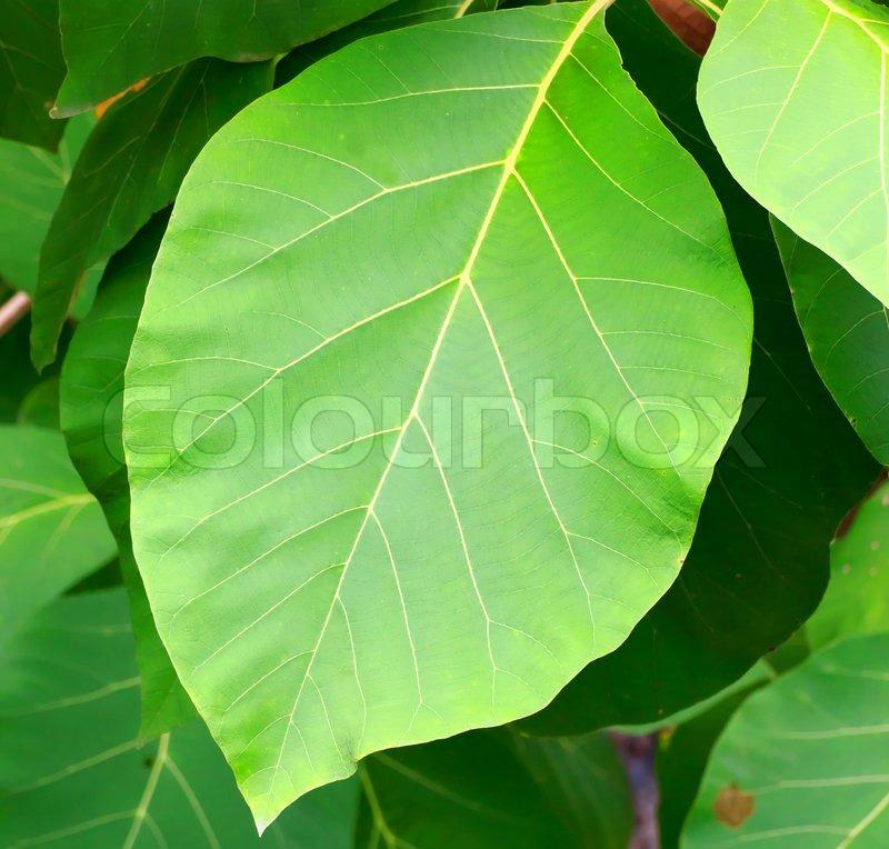 Teakbaum blatt  Teak Blätter | Stockfoto | Colourbox