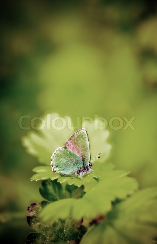 Butterfly in a green world - Callophrys rubi - The Green Hairstreak, stock photo