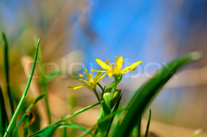 yellow star of bethlehem gagea lutea yellowspring blumen stockfoto colourbox. Black Bedroom Furniture Sets. Home Design Ideas