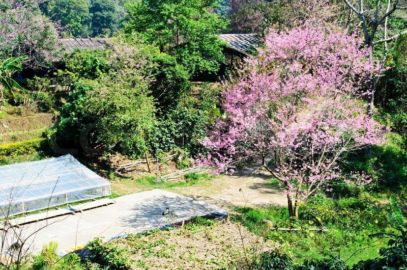 Thailand Sakura Pink Flower In Chiangmai Thailand Stock