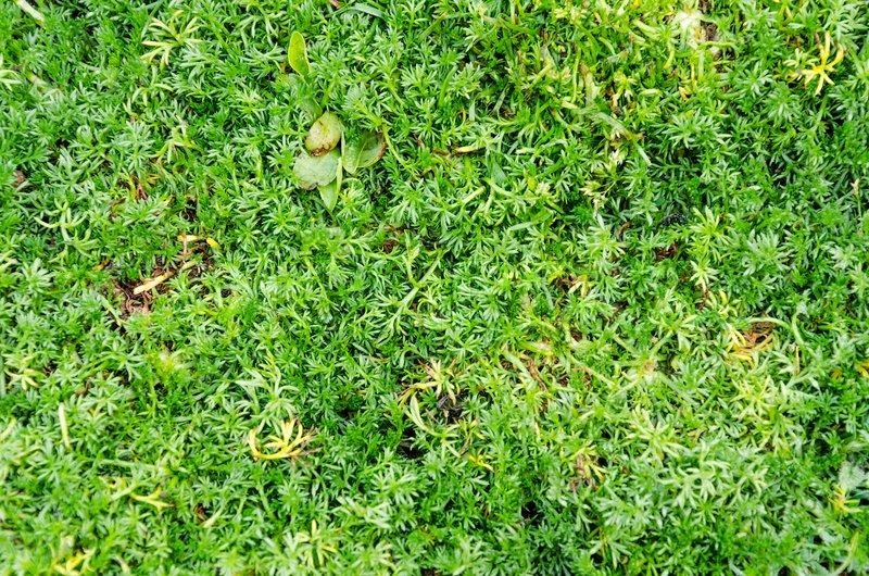 Sweet grass courtyard texture, stock photo