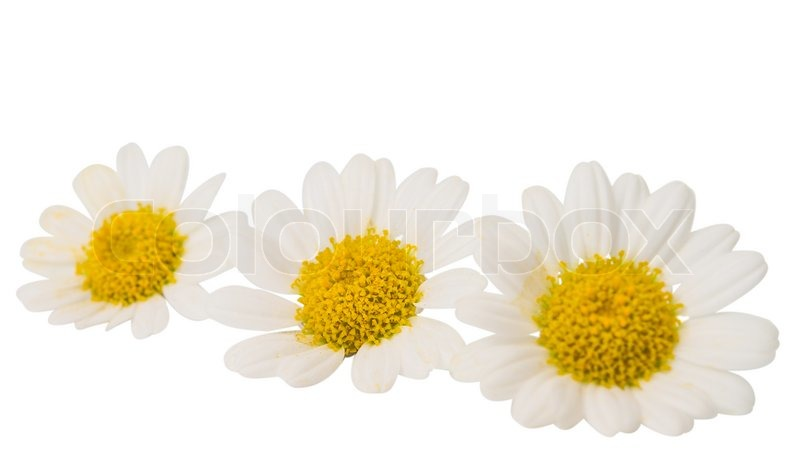 Stock image of 'chamomile flower isolated on white'