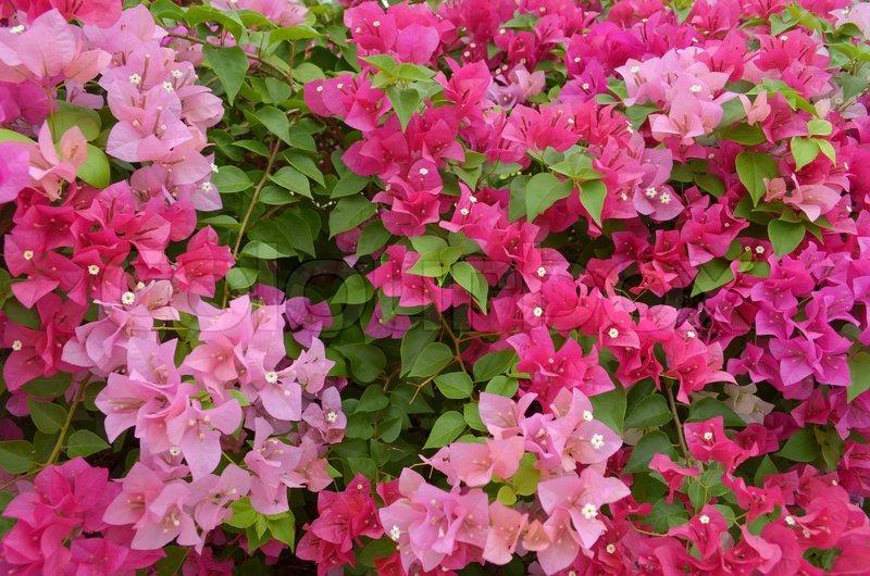 Bougainvillea paper flower stock photo colourbox mightylinksfo