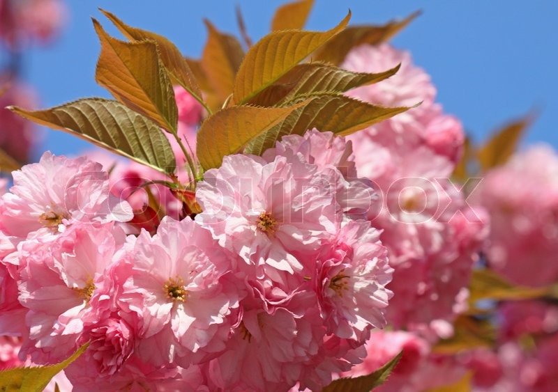 Nature background with blossoming sakura branch royalty free stock - Pink Japanese Cherry Tree Blossom Stock Photo Colourbox